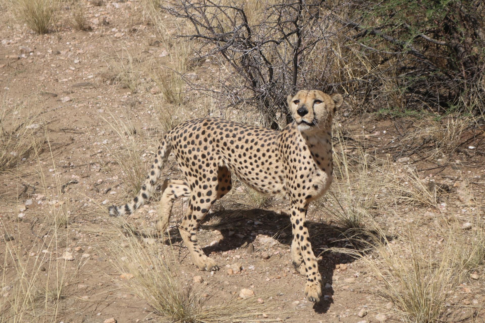 cheetah feeding tour in namibia