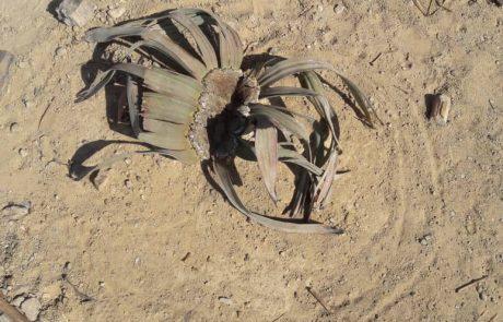 welwitschia tours in namibia